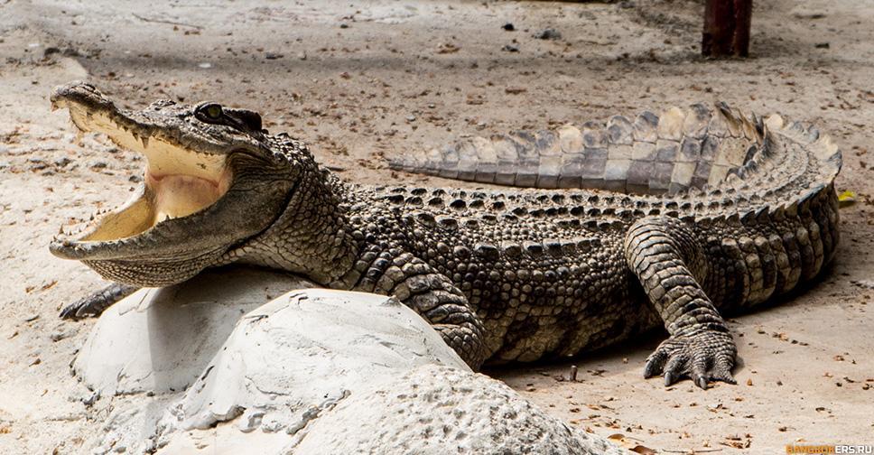 Крокодил в храме Wat Chakrawat в Бангкоке