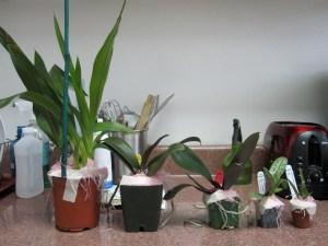 Hausermann orchids