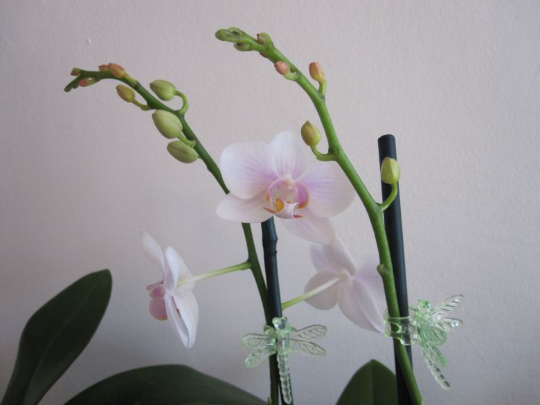 Multiple orchid buds