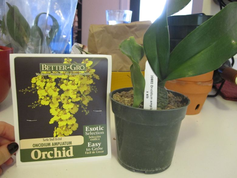 Better-Gro Oncidium Ampliatum