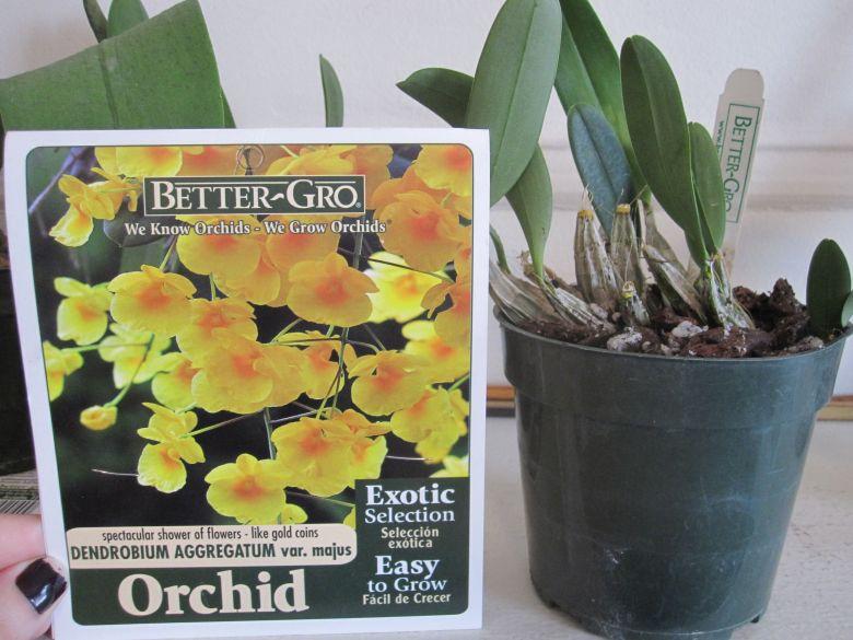 Better-Gro Dendrobium Aggregatum