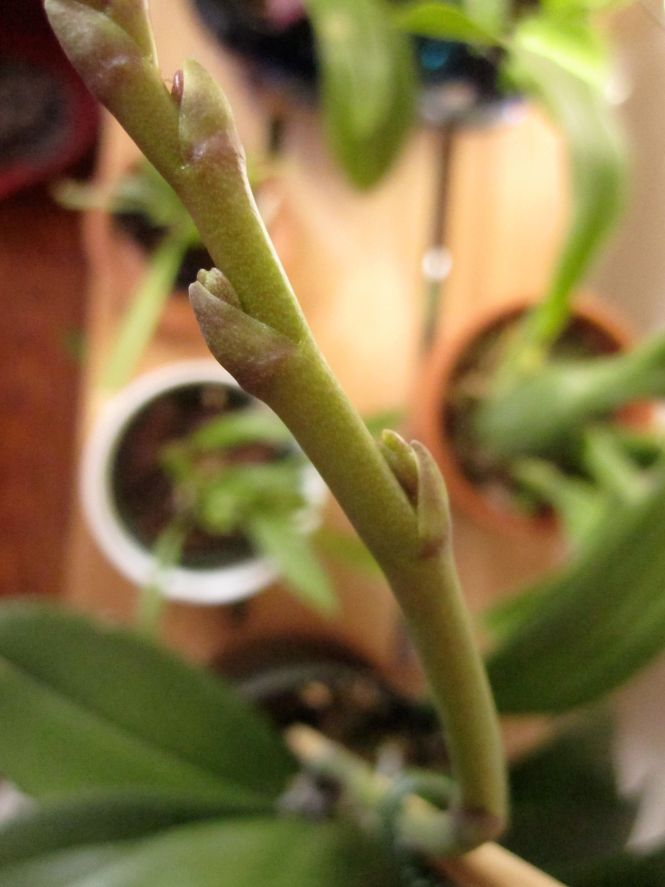 Side shoots on an orchid spike