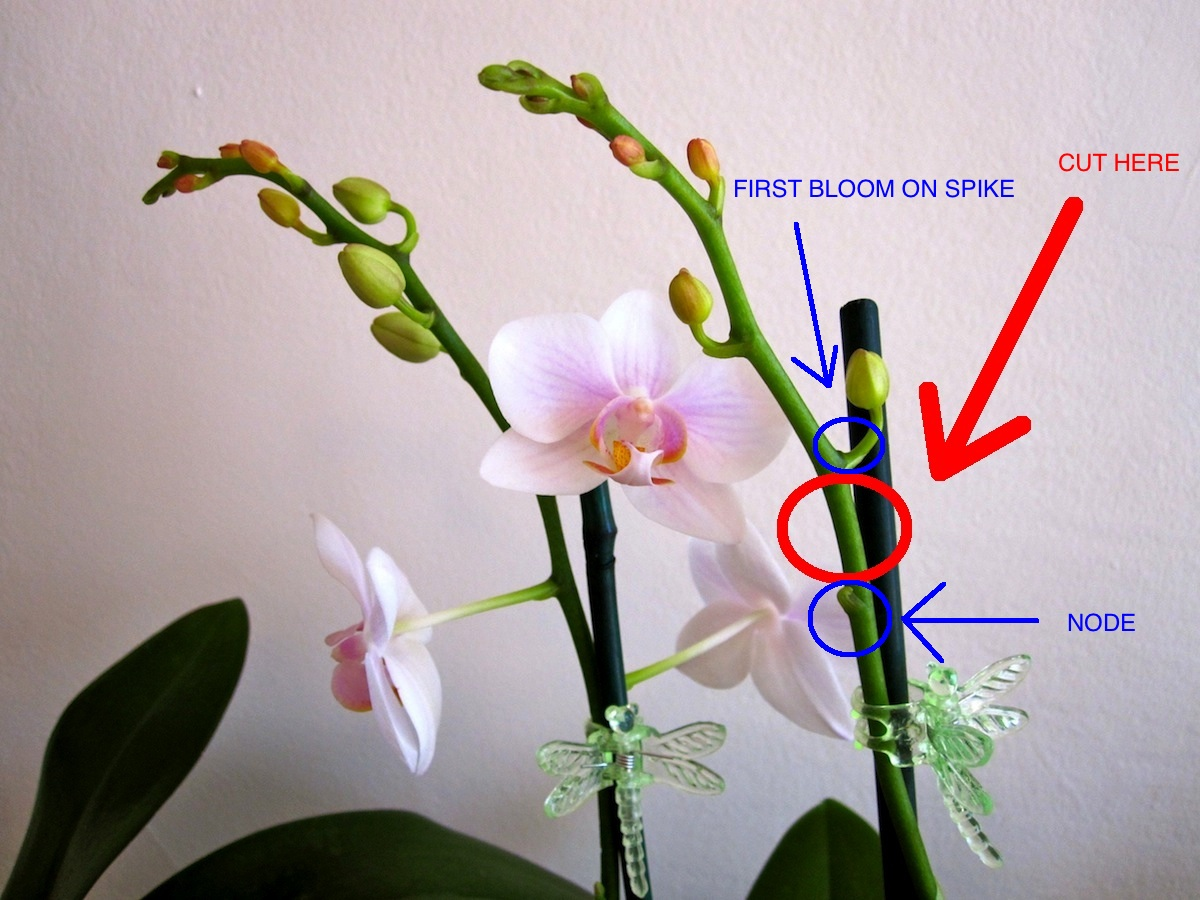 How To Cut A Phalaenopsis Orchid Spike Brooklyn Orchids