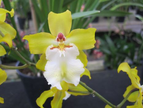 Fragrant Oncidium