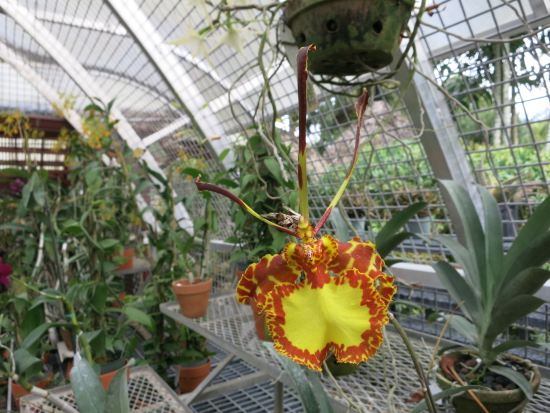 Psychopsis: the Butterfly Orchid