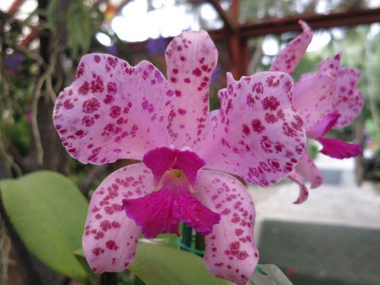 Gorgeous speckled Catt hybrid