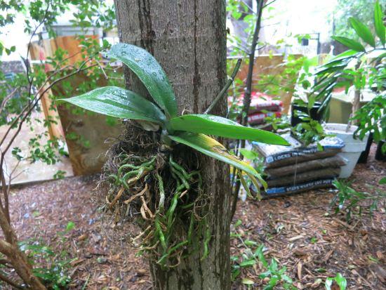 Phalaenopsis at Hemingway Home