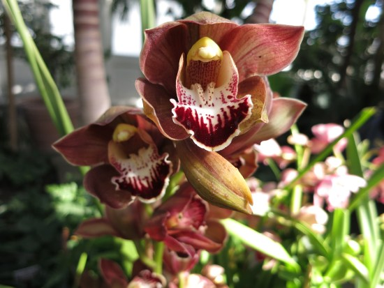 Cymbidium flowers opening up.