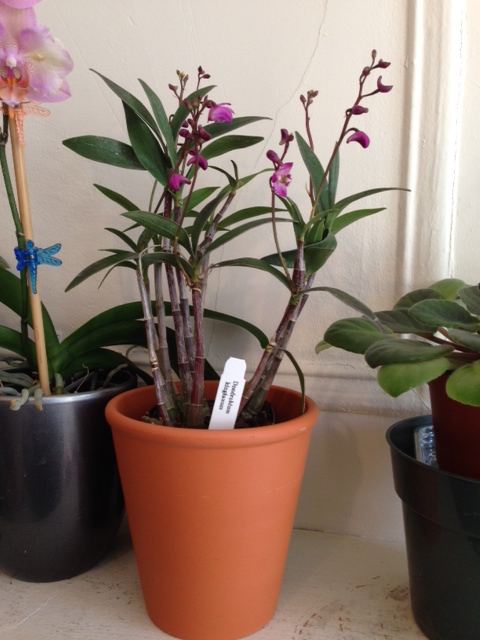 My new Dendrobium
