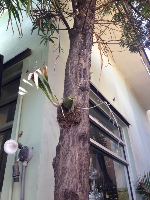 Another orchid mounted to the tree.