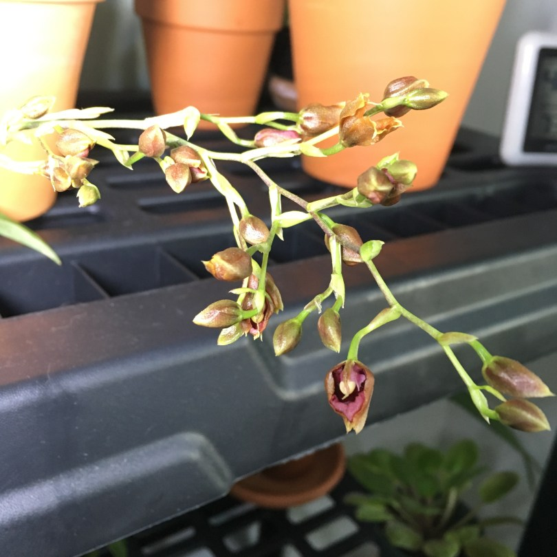 NOID Oncidium Bloom