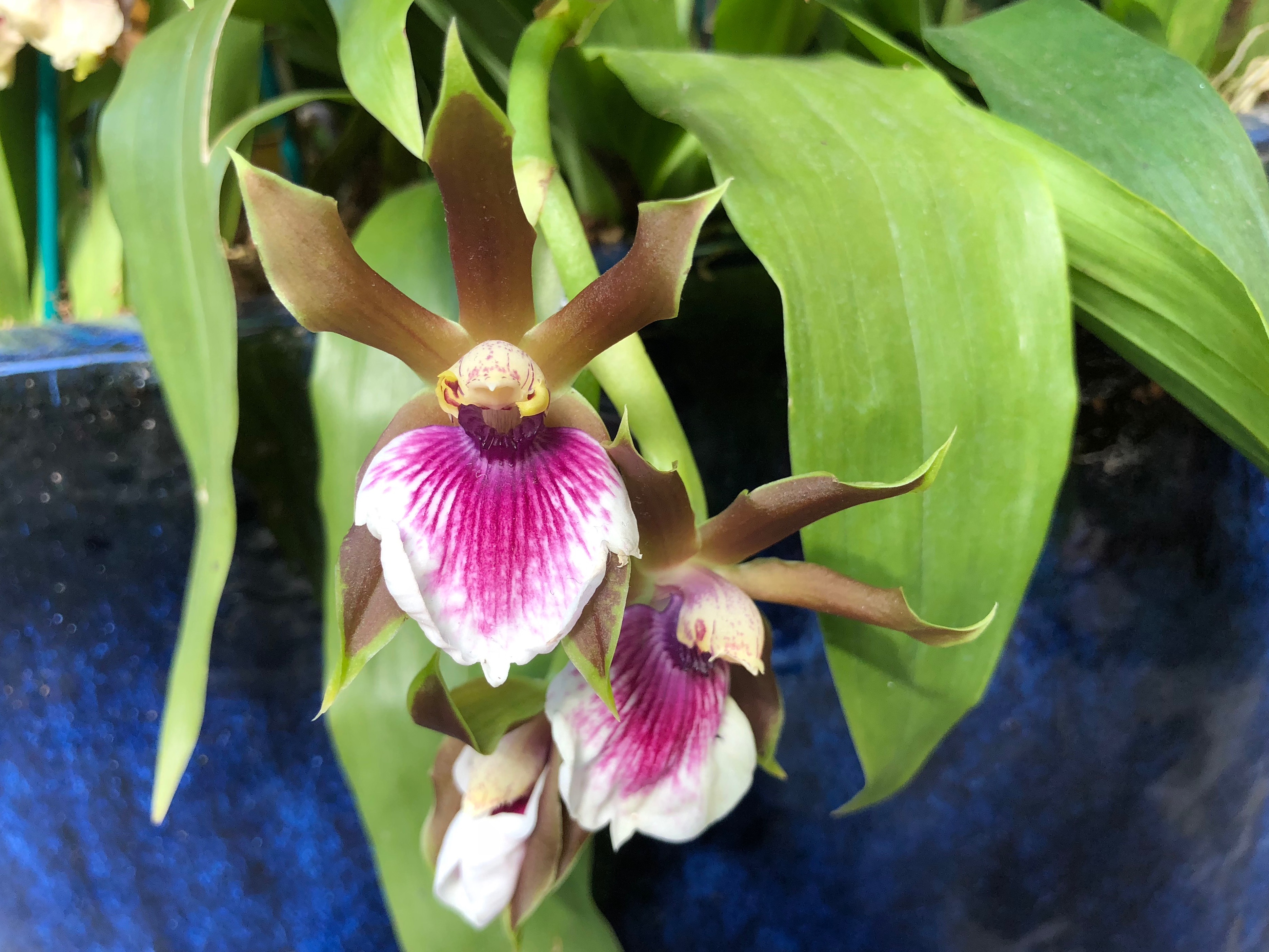 Zygopetalum related orchid