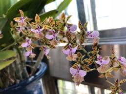 Epidendrum stamfordanium 'Big Pinky'