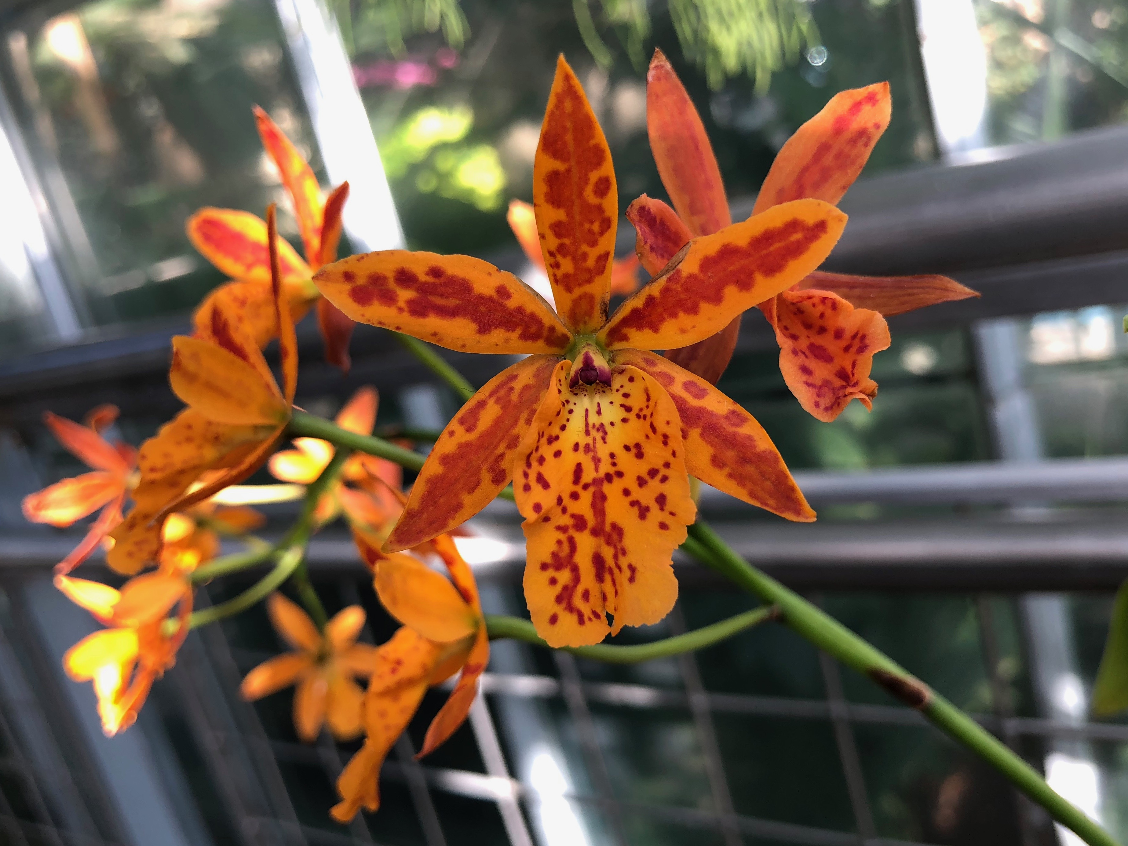Epicatanthe Volcano Trick 'Orange Fire'