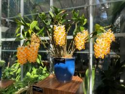Dendrobium farmeri