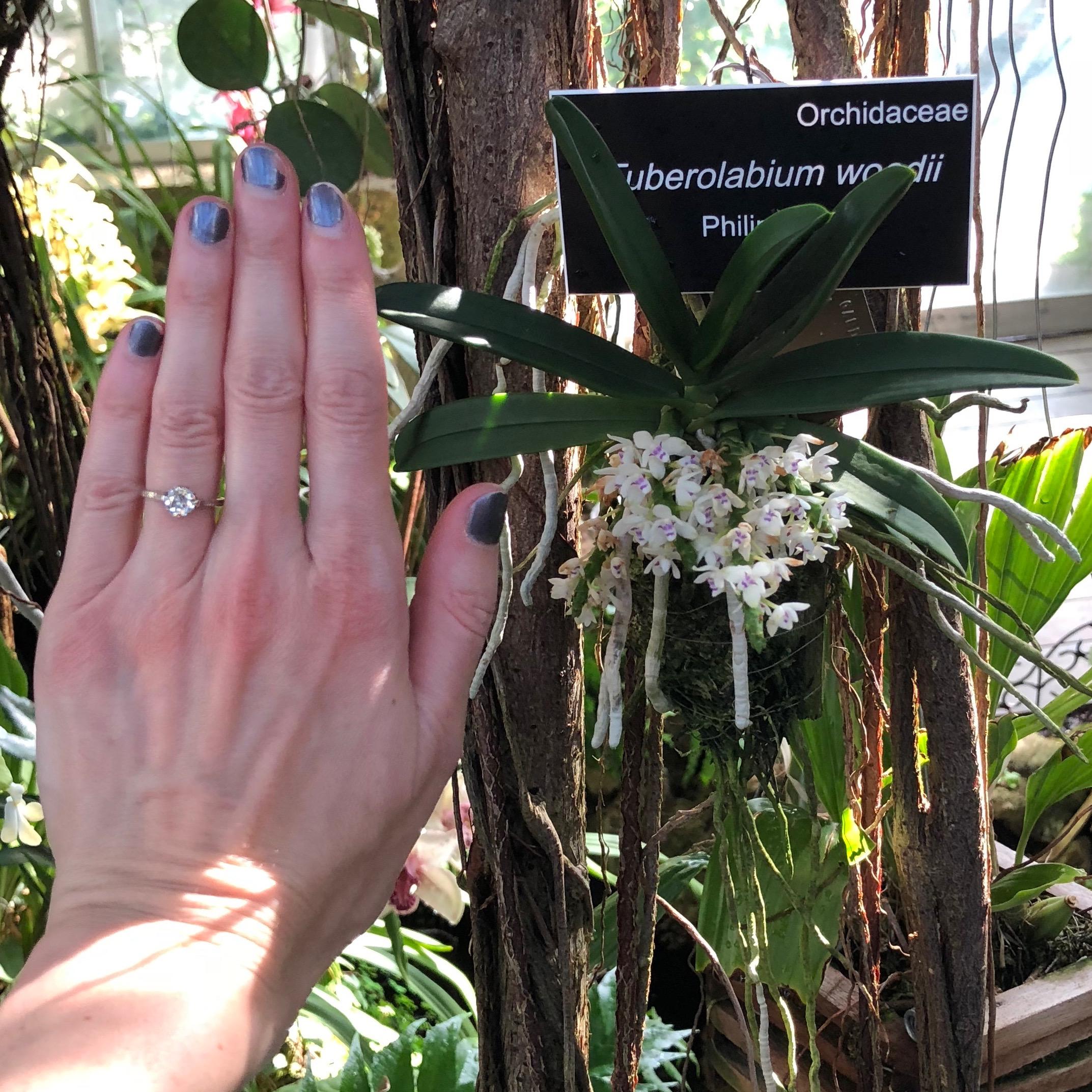 Tuberolabium woodii