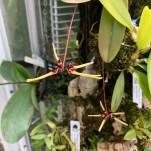 Bulbophyllum brienianum