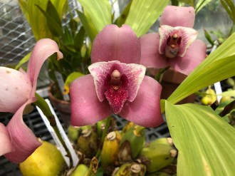 Lycaste Wyldfire g. 'Red Hot'