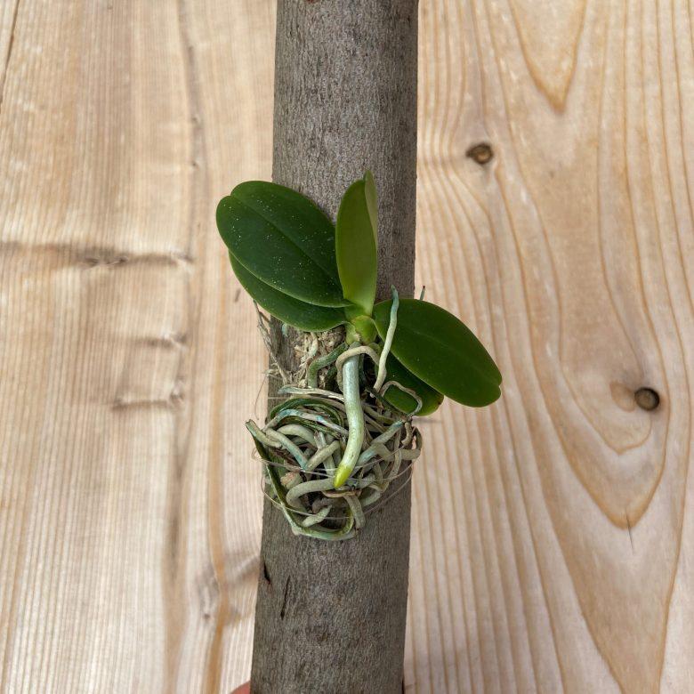 Sedirea japonica x sib
