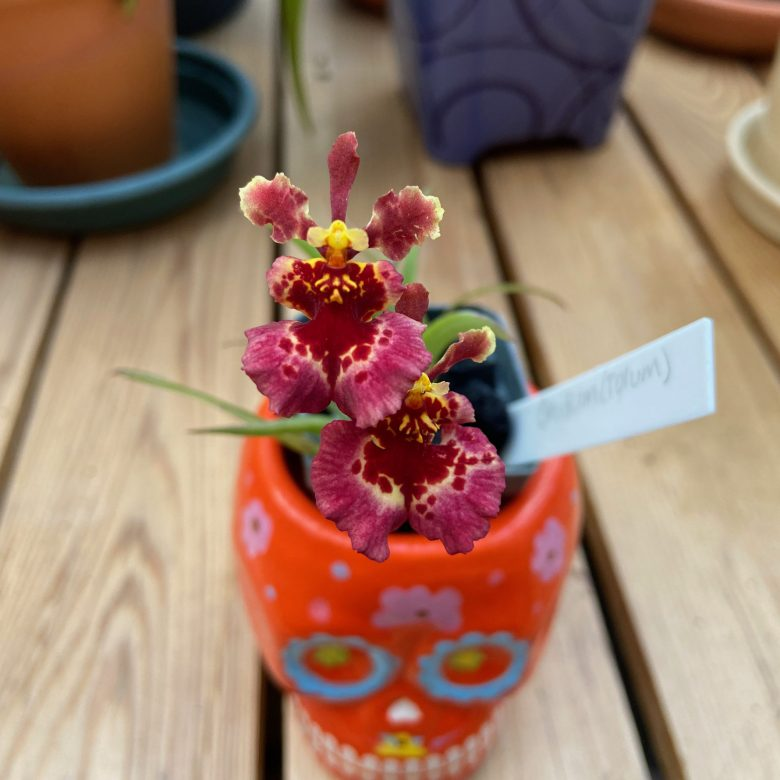Red Tolumnia blooms