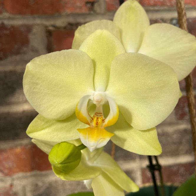Phalaenopsis Yellow Butterfly Amber blooms