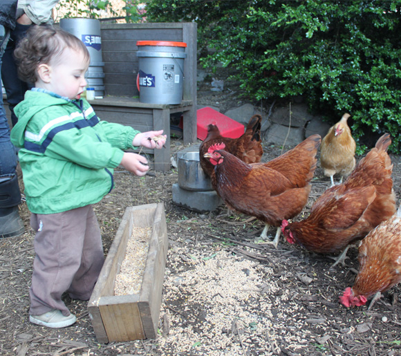 The Imani Community Garden in Crown Heights is offering classes in owning and caring for chickens.