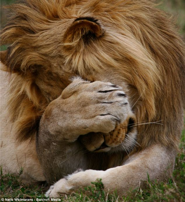 lion covering face
