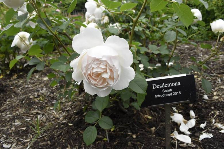 BBG's rose collection is one of the largest in North America, with more than a thousand varieties.
