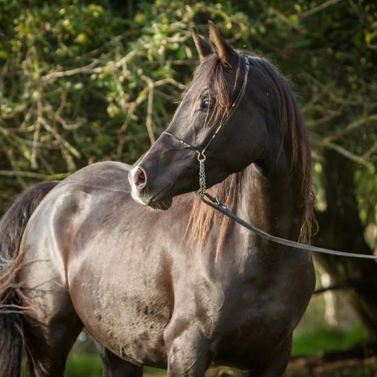 Black Arabian Mare