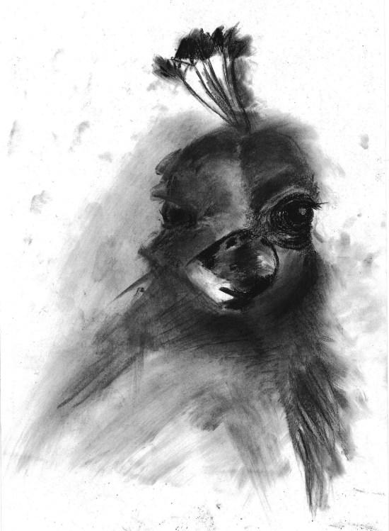 Peacock-drawing_blackballoonz