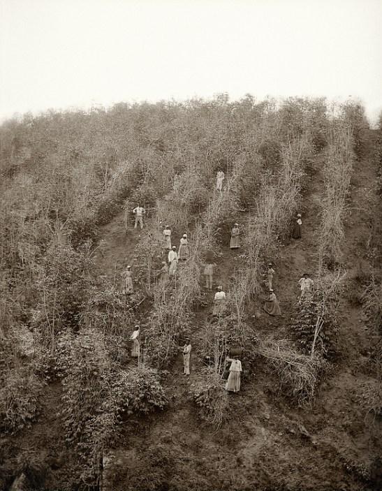 Slaves working a coffee harvest in Vale do Paraiba, Sao Paulo, 1882