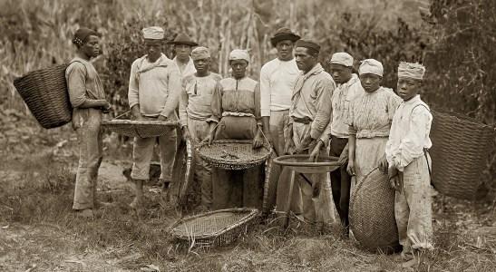 Slaves during a coffee harvest in Rio de Janeiro, Rio de Janeiro, cerca 1882