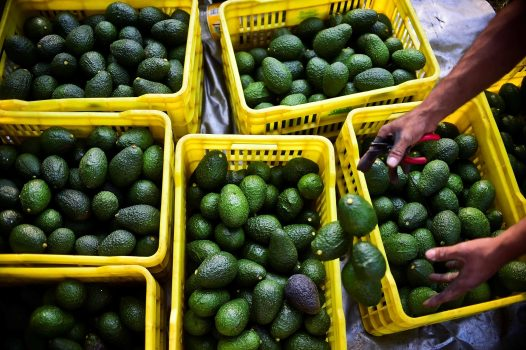 A farmer harvests avocados at an orchard in Mexico. (Ronaldo Schemidt / AFP/Getty Images)