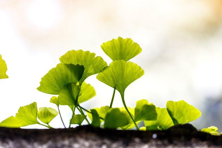 Ginkgo biloba leaf outside