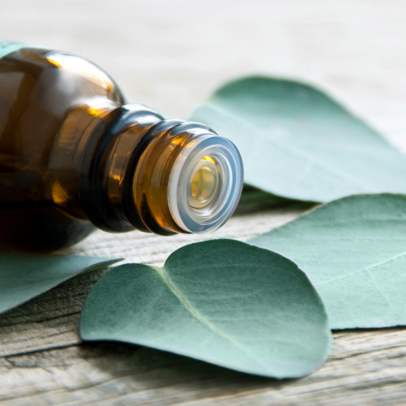 eucalyptus leaves oil