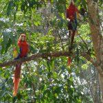 copan-Macaw-Bird