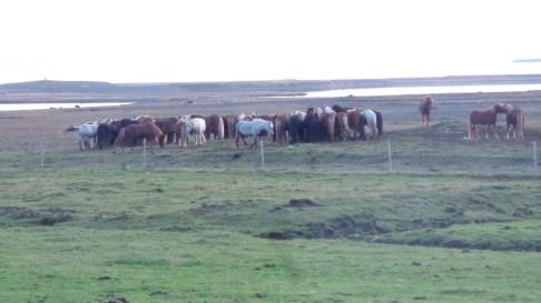 iceland-horses-farms