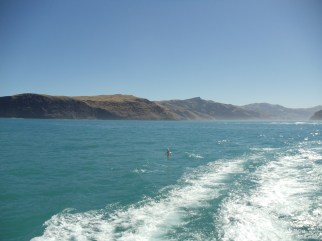 new-zeland-dolphins