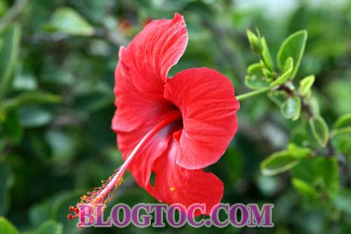 Uses and uses hibiscus flowers in hair beauty 6