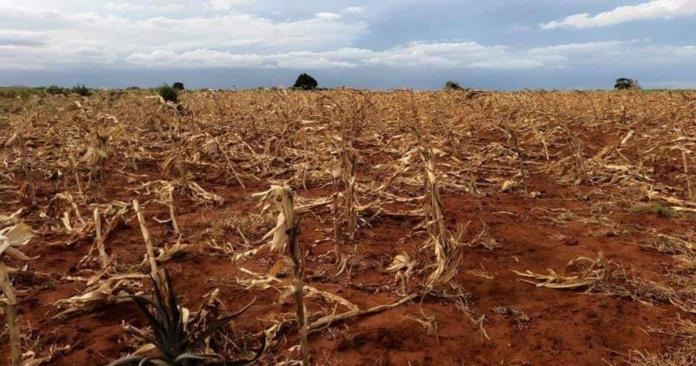 Seasonal harvest destroyed by drought in Madagascar