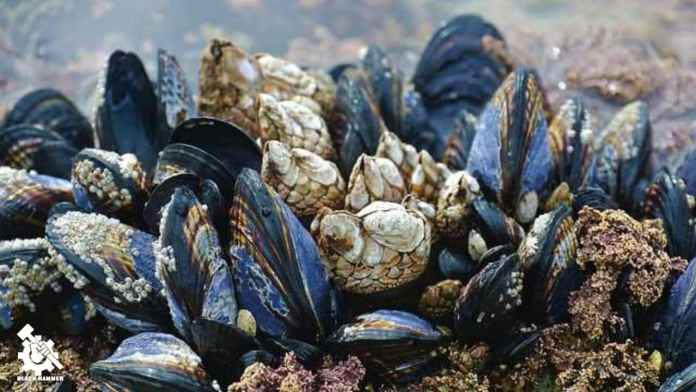 Mussels are a integral part of the Earths symbiotic relationship with its aquatic beings,