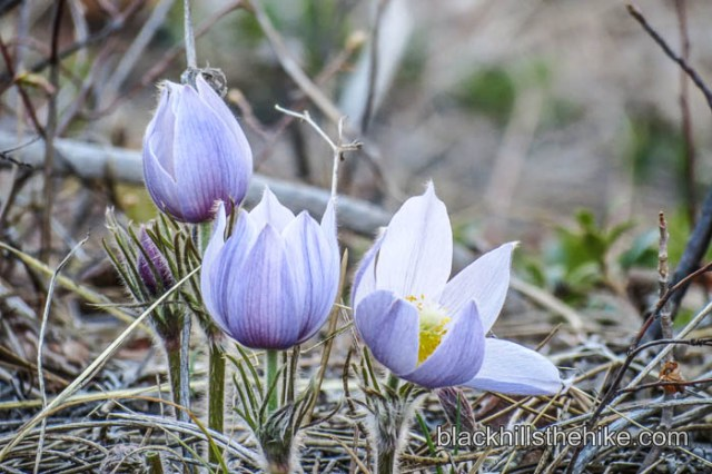 Pasque Flower 2013