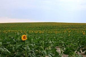 Quinn Sunflowers