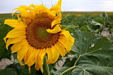 Quinn Sunflower