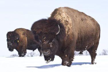bison_snow1