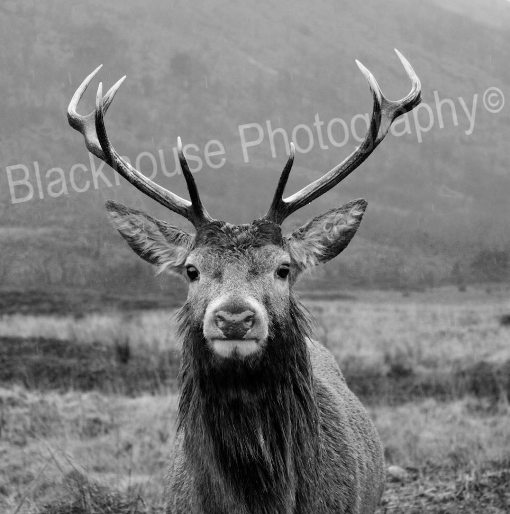Blackhouse Photography Wild Stag Black & White