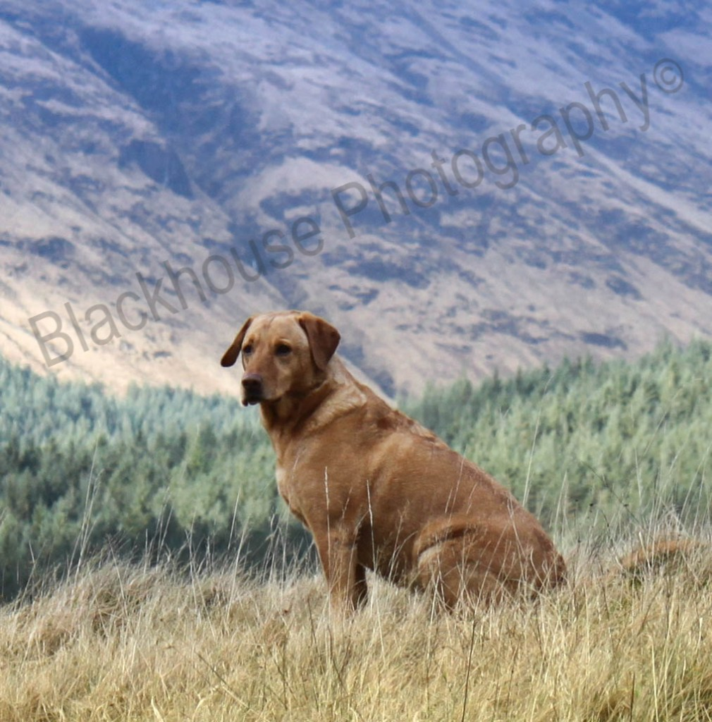 Blackhouse Photography Gundog Scotland