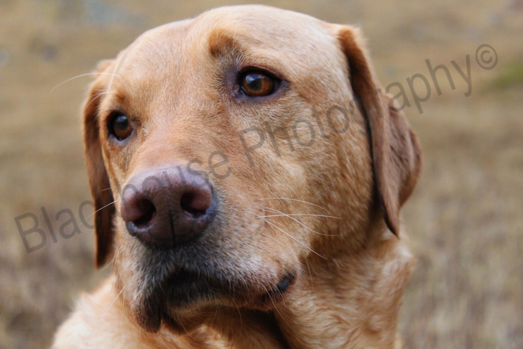 Blackhouse Photography Gundog face