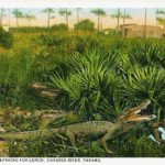 postcard_alligator_preparing_for_lunch_panama