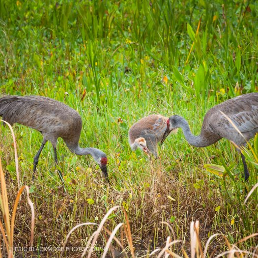 Sandhill Cranes with Colt in wetland